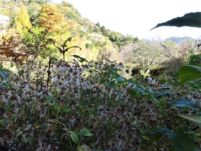 高知県立牧野植物園に魅せられて牧野富太郎博士の業績にビックリ、素晴らしい植物園には沢山の花々が、ノジギクの命名者は牧野富太郎先生がその人_d0181492_20470951.jpg