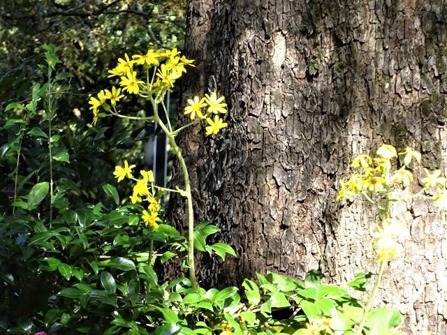 高知県立牧野植物園に魅せられて牧野富太郎博士の業績にビックリ、素晴らしい植物園には沢山の花々が、ノジギクの命名者は牧野富太郎先生がその人_d0181492_20472258.jpg