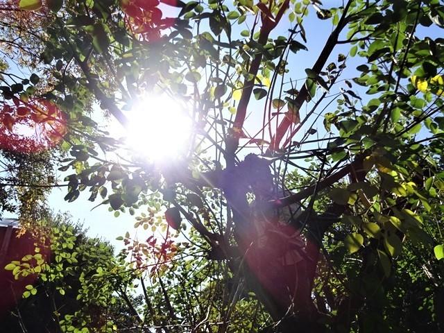 高知県立牧野植物園に魅せられて牧野富太郎博士の業績にビックリ、素晴らしい植物園には沢山の花々が、ノジギクの命名者は牧野富太郎先生がその人_d0181492_20480618.jpg