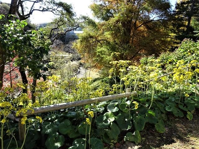 高知県立牧野植物園に魅せられて牧野富太郎博士の業績にビックリ、素晴らしい植物園には沢山の花々が、ノジギクの命名者は牧野富太郎先生がその人_d0181492_20494221.jpg