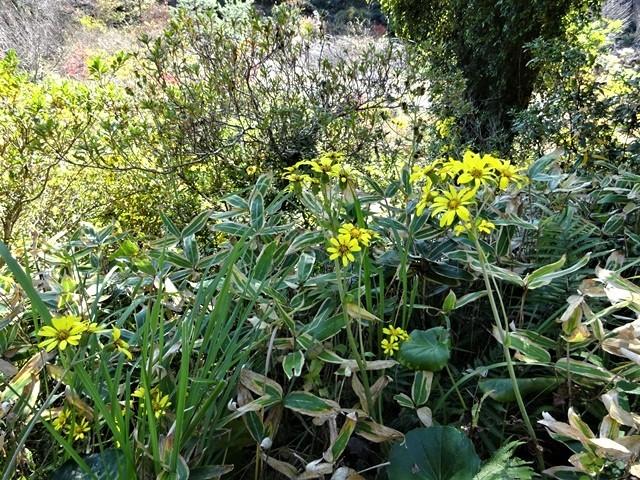 高知県立牧野植物園に魅せられて牧野富太郎博士の業績にビックリ、素晴らしい植物園には沢山の花々が、ノジギクの命名者は牧野富太郎先生がその人_d0181492_20500773.jpg