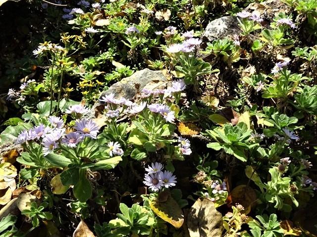 高知県立牧野植物園に魅せられて牧野富太郎博士の業績にビックリ、素晴らしい植物園には沢山の花々が、ノジギクの命名者は牧野富太郎先生がその人_d0181492_20503579.jpg