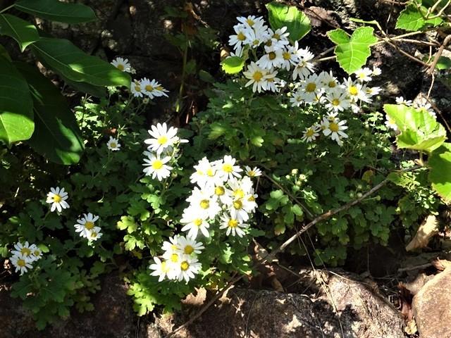 高知県立牧野植物園に魅せられて牧野富太郎博士の業績にビックリ、素晴らしい植物園には沢山の花々が、ノジギクの命名者は牧野富太郎先生がその人_d0181492_20505979.jpg