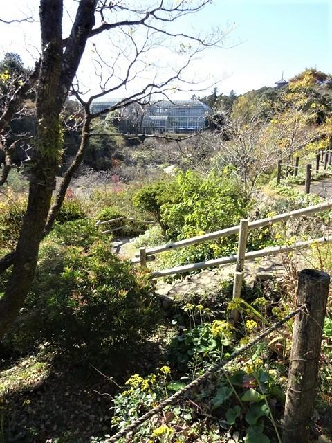 高知県立牧野植物園に魅せられて牧野富太郎博士の業績にビックリ、素晴らしい植物園には沢山の花々が、ノジギクの命名者は牧野富太郎先生がその人_d0181492_20511553.jpg