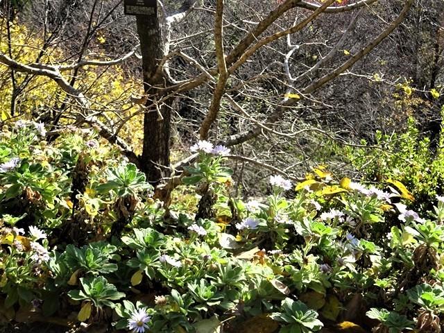 高知県立牧野植物園に魅せられて牧野富太郎博士の業績にビックリ、素晴らしい植物園には沢山の花々が、ノジギクの命名者は牧野富太郎先生がその人_d0181492_20530953.jpg