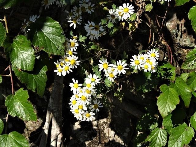 高知県立牧野植物園に魅せられて牧野富太郎博士の業績にビックリ、素晴らしい植物園には沢山の花々が、ノジギクの命名者は牧野富太郎先生がその人_d0181492_20532941.jpg