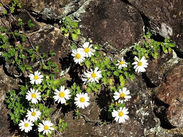 高知県立牧野植物園に魅せられて牧野富太郎博士の業績にビックリ、素晴らしい植物園には沢山の花々が、ノジギクの命名者は牧野富太郎先生がその人_d0181492_20542266.jpg