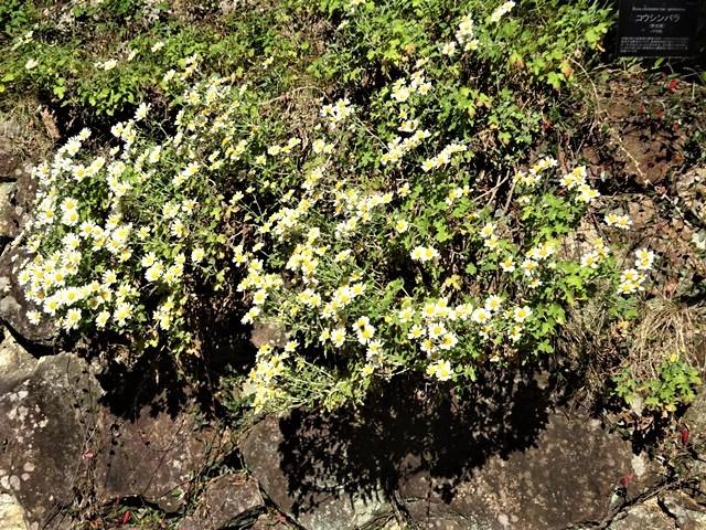 高知県立牧野植物園に魅せられて牧野富太郎博士の業績にビックリ、素晴らしい植物園には沢山の花々が、ノジギクの命名者は牧野富太郎先生がその人_d0181492_20543338.jpg