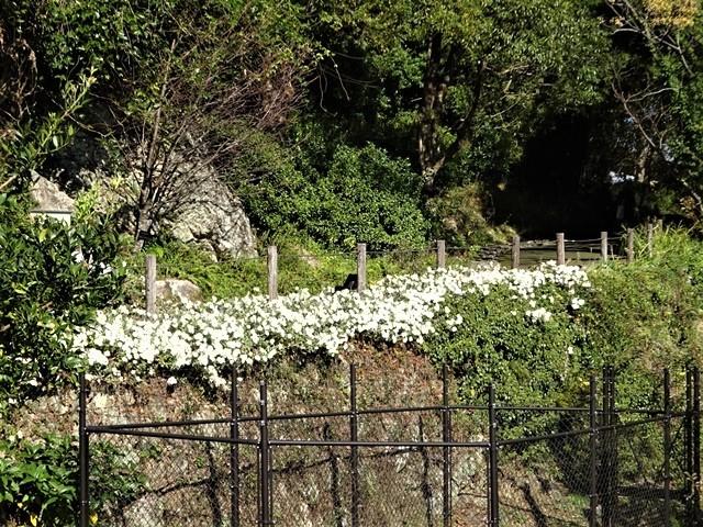 高知県立牧野植物園に魅せられて牧野富太郎博士の業績にビックリ、素晴らしい植物園には沢山の花々が、ノジギクの命名者は牧野富太郎先生がその人_d0181492_20544495.jpg