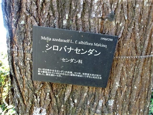 高知県立牧野植物園に魅せられて牧野富太郎博士の業績にビックリ、素晴らしい植物園には沢山の花々が、ノジギクの命名者は牧野富太郎先生がその人_d0181492_20553360.jpg