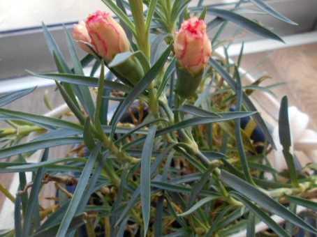 母の日のカーネーションが咲きそう&野菜いっぱいのスープ仕込み中_f0019498_09595196.jpg