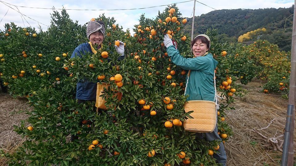 寿太郎みかんの収穫が始まりました_b0028299_18365216.jpg