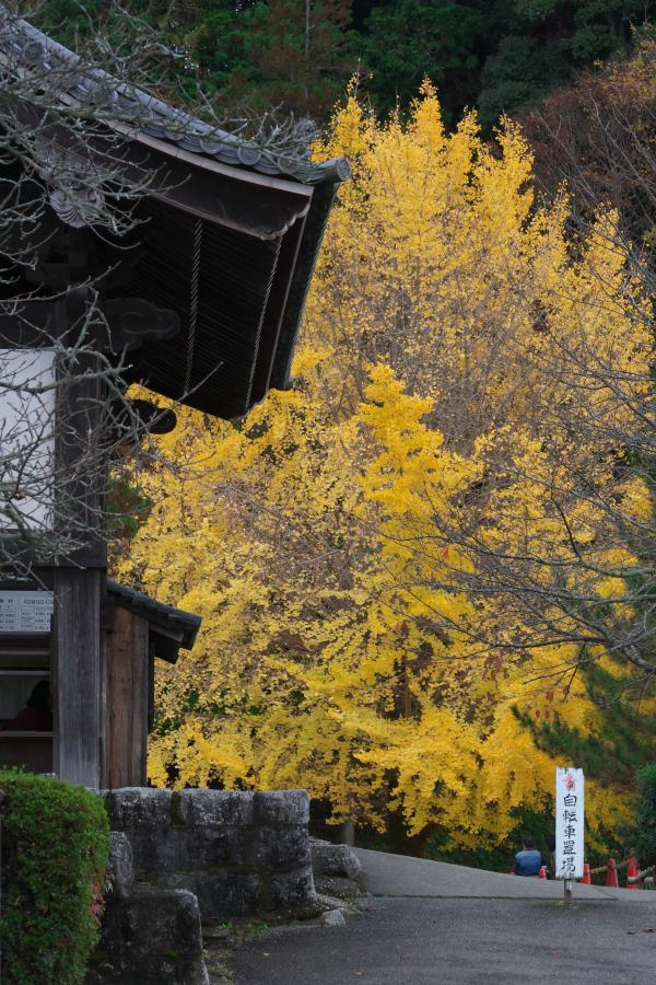 明日香・橘寺の銀杏_b0408917_18562403.jpg