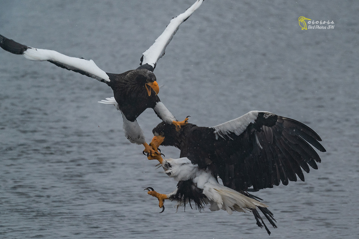 Steller\'s sea eagles of Japan, the battle and in snowstorm._d0360547_06050145.jpg