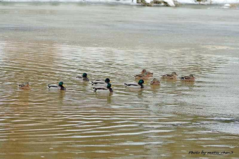 ヨシガモ Falcated Duck_c0070654_09312180.jpg