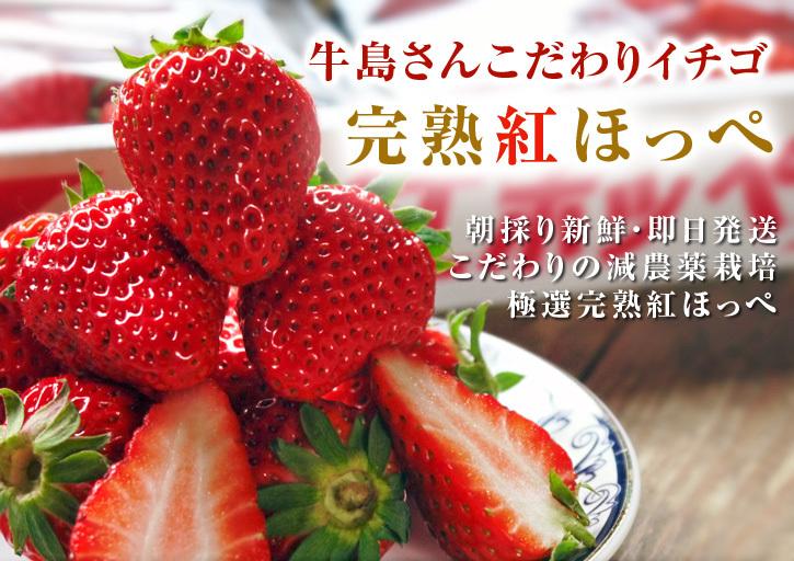 熊本産高級イチゴ『完熟紅ほっぺ』本日より発送開始!完熟の美味さ!朝採りの新鮮さ!大好評発売中!_a0254656_18181694.jpg
