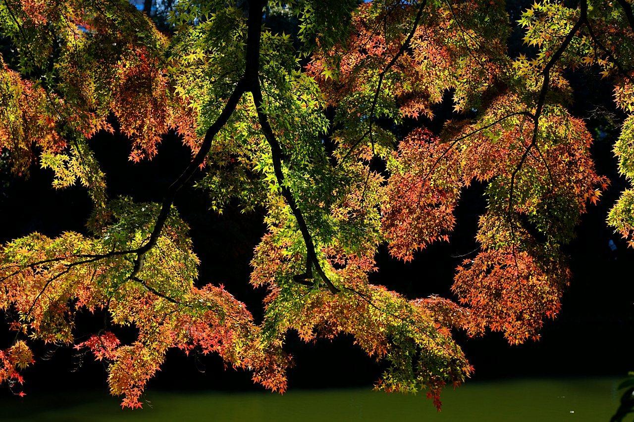 小石川後楽園の紅葉。_a0129474_20392597.jpg