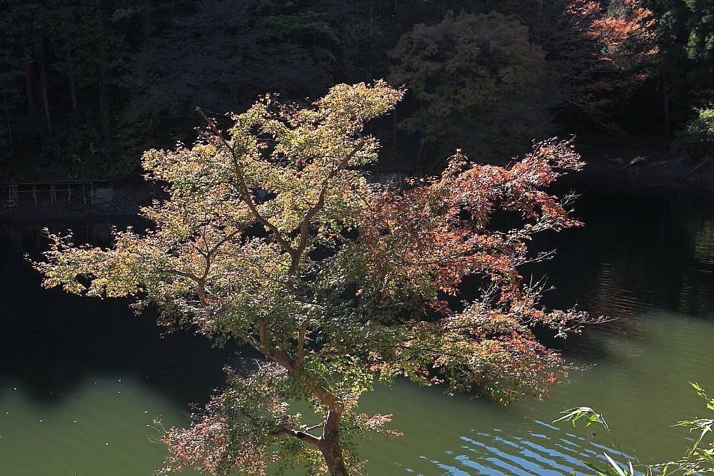 毛呂山町 モミジの鎌北湖 その2_e0165983_11262611.jpg