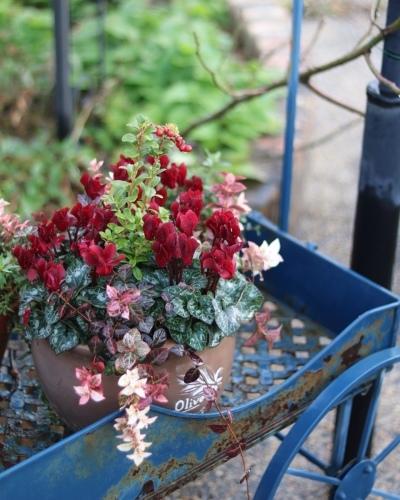 冬の鉢植え_c0366722_14391700.jpeg