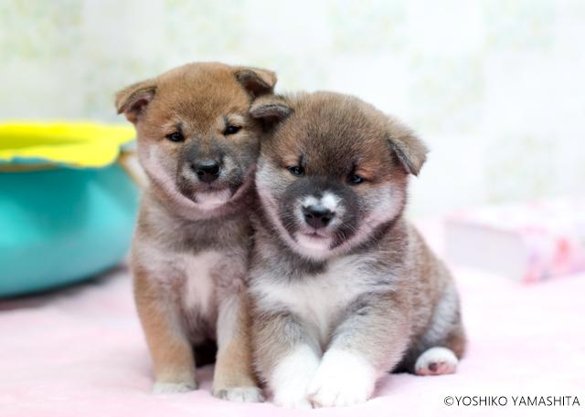 柴犬兄弟。。。_f0031022_07032767.jpg