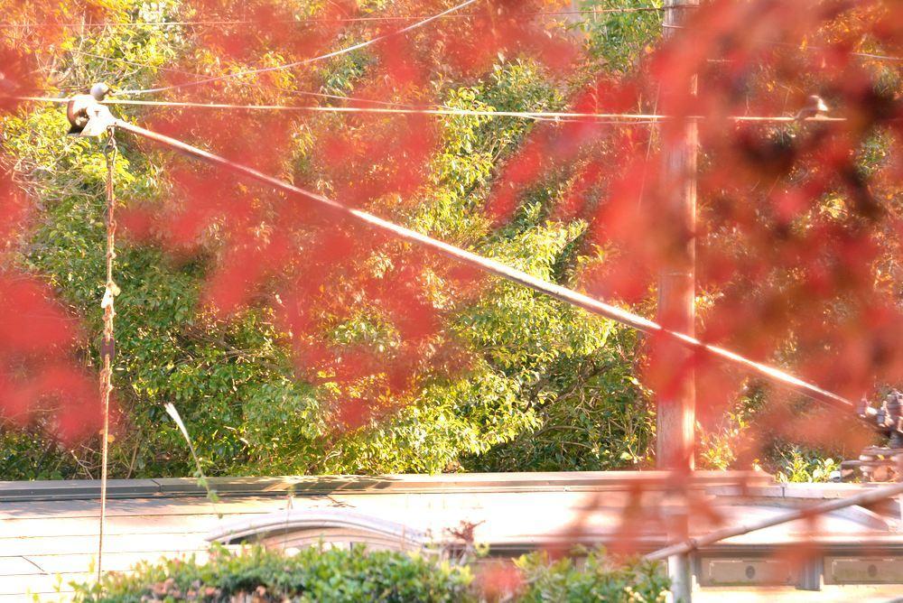 京都市電名古屋電停付近の紅葉_e0373930_23360974.jpg