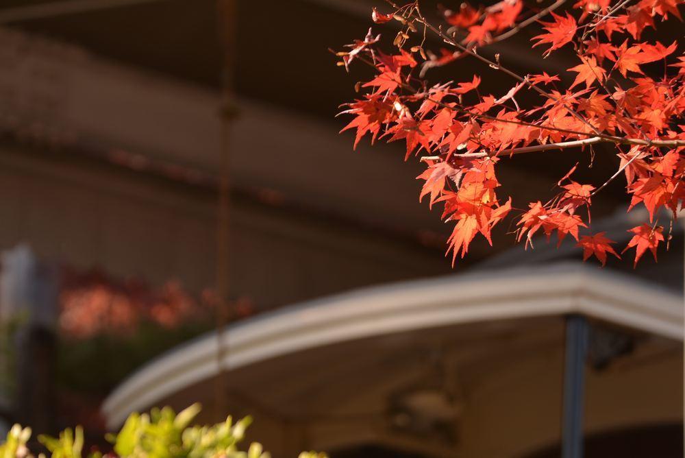 京都市電名古屋電停付近の紅葉_e0373930_23373717.jpg