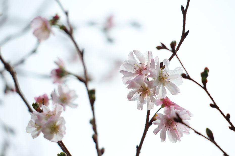 冬の桜_c0067040_21132737.jpg
