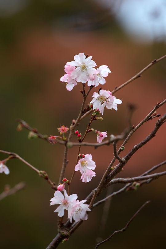 冬の桜_c0067040_21133965.jpg