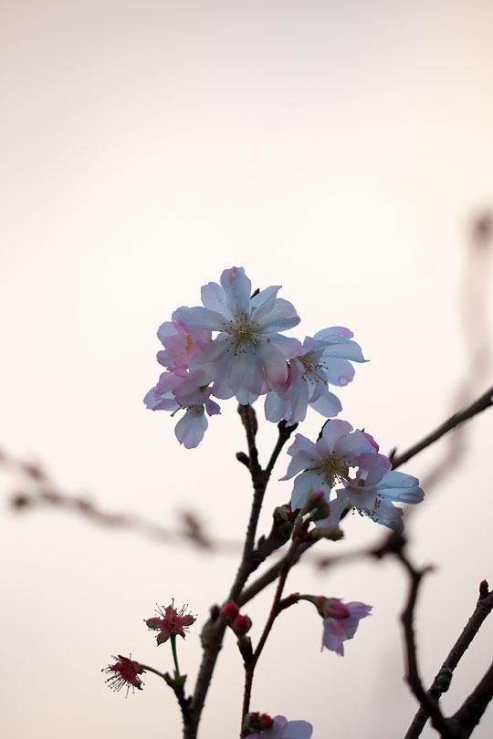 冬の桜_c0067040_21134934.jpg