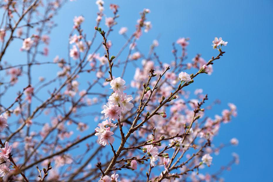 冬の桜_c0067040_21145734.jpg