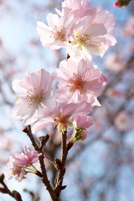 冬の桜_c0067040_21150836.jpg