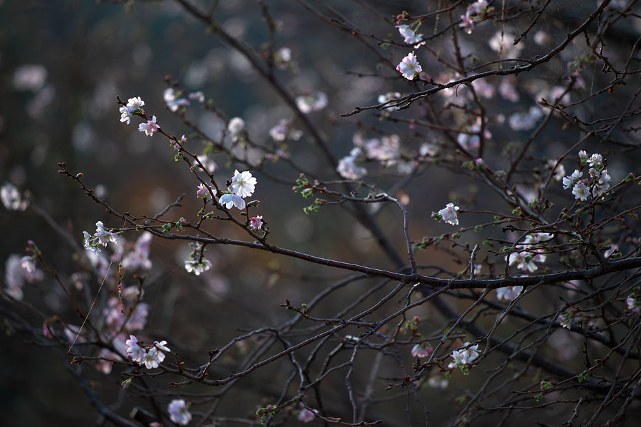 冬の桜_c0067040_21153547.jpg