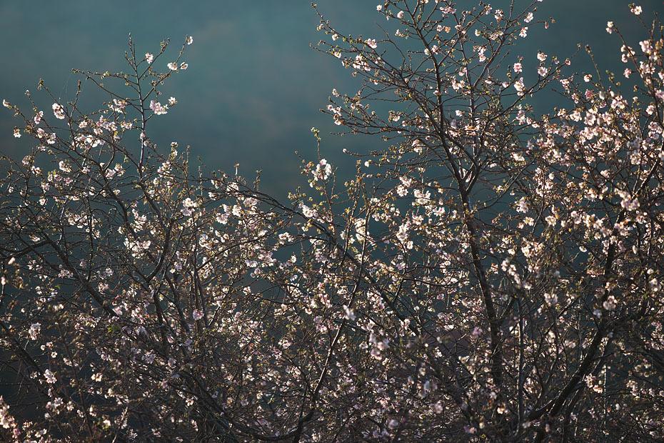 冬の桜_c0067040_21154705.jpg