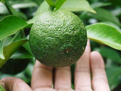 令和元年度の『香り高き柚子』の「冬至用柚子」はいよいよ残りわずか!!ご注文はお急ぎください!_a0254656_17490399.jpg