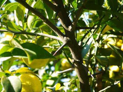 令和元年度の『香り高き柚子』の「冬至用柚子」はいよいよ残りわずか!!ご注文はお急ぎください!_a0254656_17502934.jpg