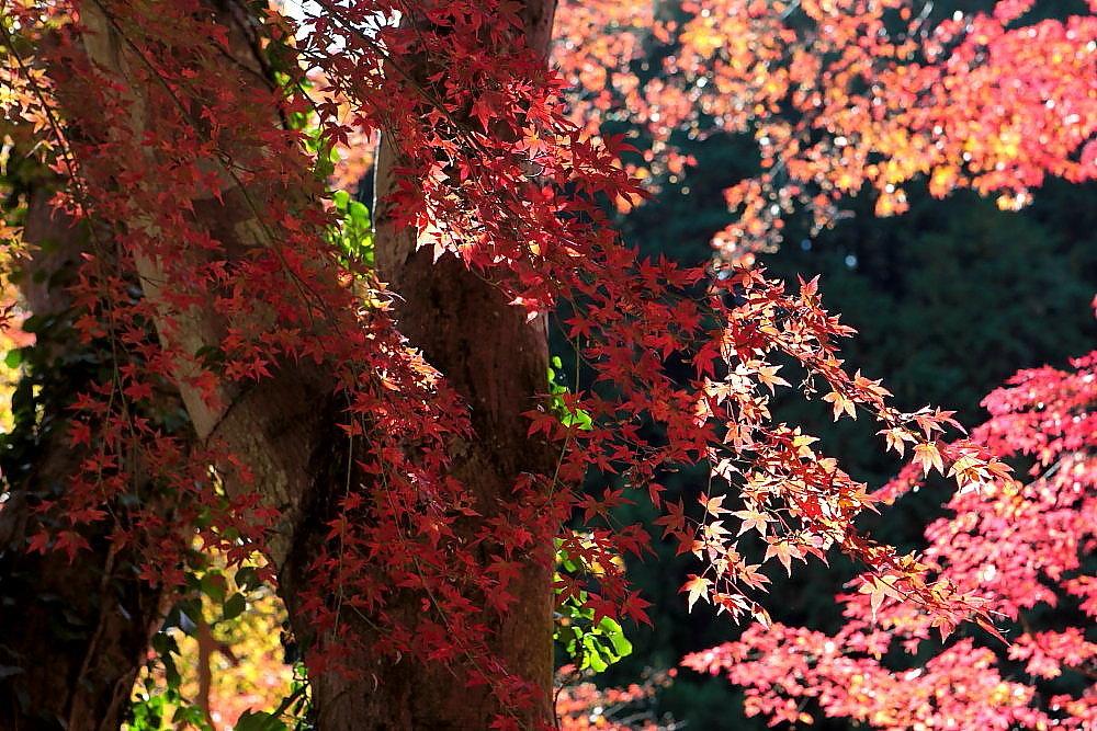 毛呂山町 モミジの鎌北湖 ラスト_e0165983_10131956.jpg