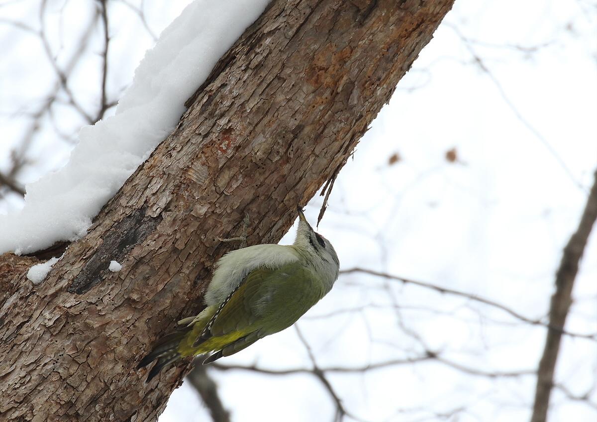雪の森にて・・ヤマゲラ_c0113597_14284777.jpg