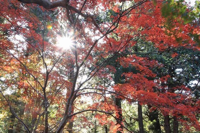 八柱神社の紅葉(その1)(撮影:11月30日)_e0321325_14580371.jpg