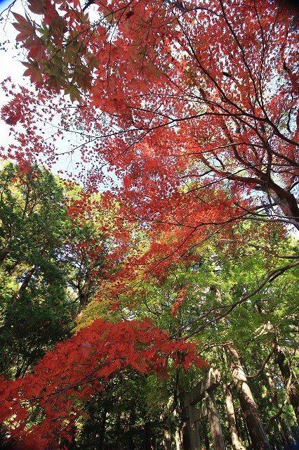 八柱神社の紅葉(その1)(撮影:11月30日)_e0321325_14585940.jpg