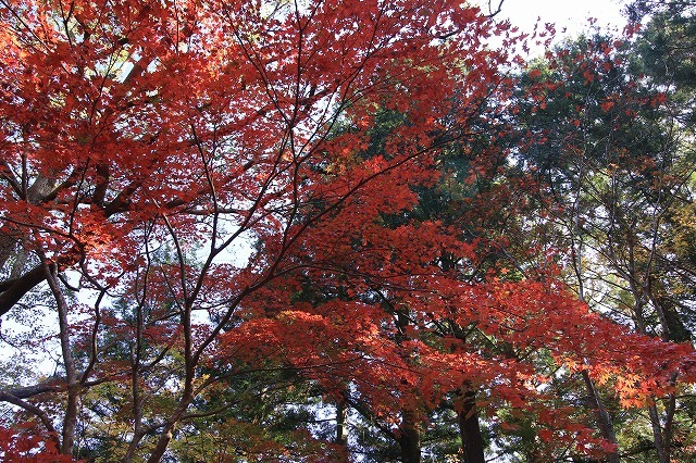 八柱神社の紅葉(その1)(撮影:11月30日)_e0321325_14592198.jpg