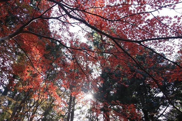 八柱神社の紅葉(その1)(撮影:11月30日)_e0321325_14593625.jpg