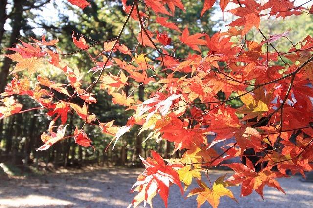 八柱神社の紅葉(その1)(撮影:11月30日)_e0321325_15001977.jpg