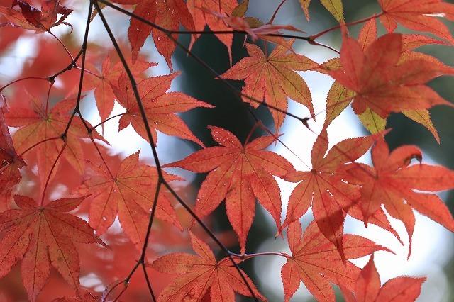八柱神社の紅葉(その1)(撮影:11月30日)_e0321325_15005465.jpg