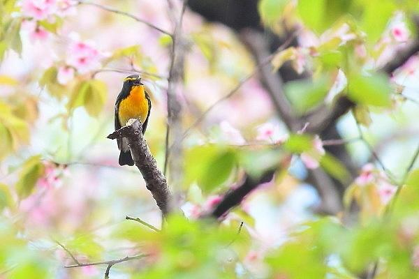 2019年を振り返って…桜の枝にキビタキが_e0413627_17054471.jpg