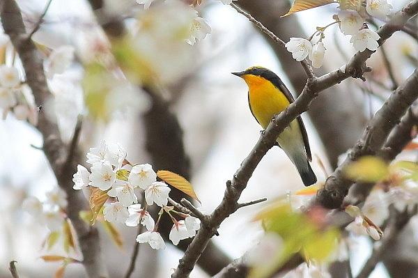2019年を振り返って…桜の枝にキビタキが_e0413627_17061679.jpg
