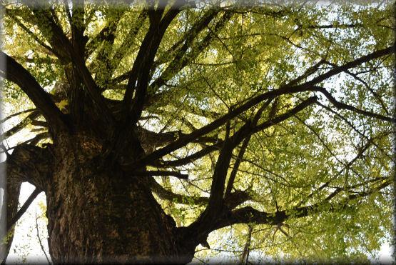 大銀杏の木の下で @12月3日_f0363141_08141459.jpg
