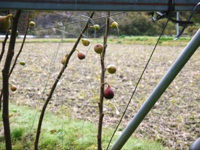 甘熟いちじく いちじくの紅葉!まもなく一気に冷え込んだ朝に一斉に落葉します!_a0254656_14364981.jpg