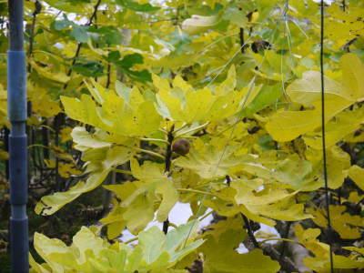 甘熟いちじく いちじくの紅葉!まもなく一気に冷え込んだ朝に一斉に落葉します!_a0254656_14510983.jpg