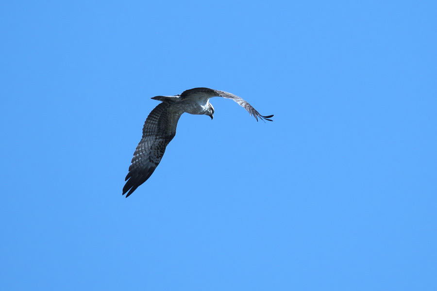 江戸川からの来訪鳥_a0021270_20043617.jpg