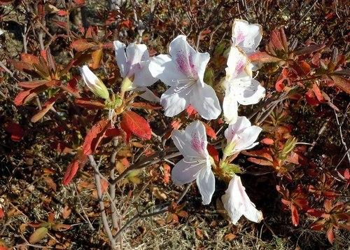 路傍の花、樹々の鳥(359)~ 季節外れに咲く花 ~_b0102572_16364806.jpg